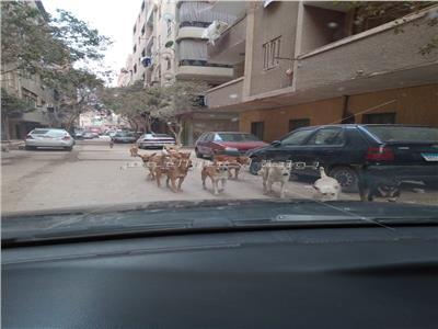 الكلاب الضالة في كوتسيكا