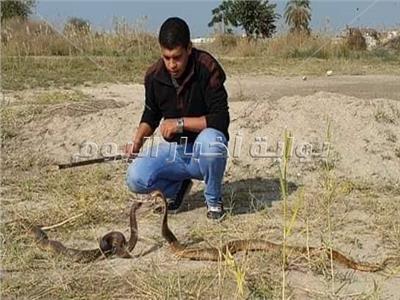«الدكروني» وصيد الثعابين.. فن استخلاص السموم بـ«خفة يد»