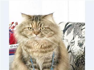 القطة المصرية