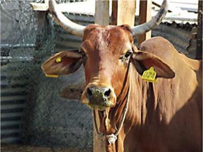 الزراعة: ترقيم وتسجيل أكثر من مليون رأس ماشية خلال عام