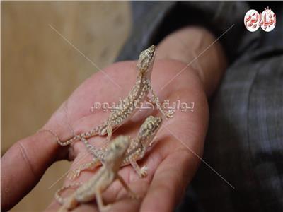 دولارات تُدهس بالأقدام.. البرص المصري وصل العالمية