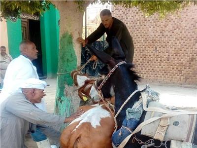 خلال تحصين الماشية ضد مرض الحمي القلاعية
