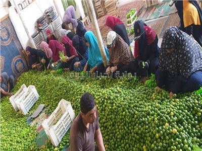 النساء يجمعن الليمون ويجهزونه للبيع
