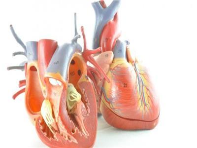 صمامات القلب البشري