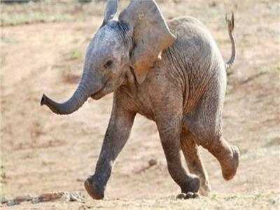 حظر الاتجار في الفيلة الأفريقية الرضيعة