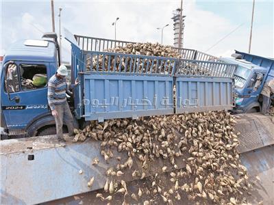 التوسع فى زراعة محصول البنجر يؤدى إلى زيادة كبيرة فى انتاج السكر