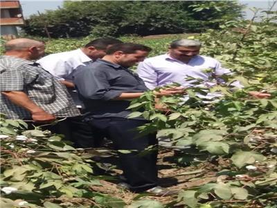 زراعة المنوفيه تجنى انتاجية 55 فدان من زراعات القطن