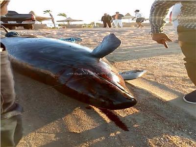 """العثور على """"الحوت القاتل"""" نافقاً بأحد شواطئ الغردقة"""