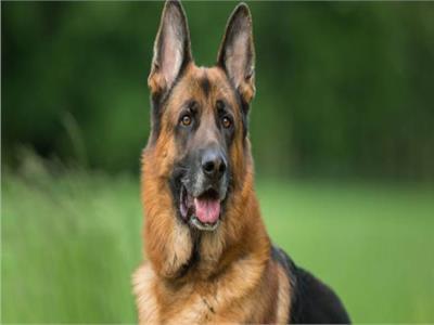 مقترحات بإدخال الكلاب في اكتشاف الحالات المصابة بفيروس كورونا