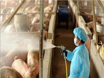 بسبب الخنازير.. ظهور فيروس جديد في الصين وتحذير من تحوله لجائحة
