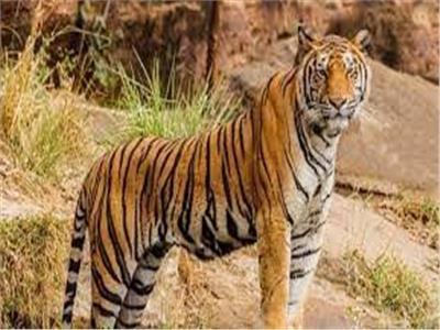 بحديقة حيوانات في سويسرا.. أنثى نمر تقتل حارستها أمام الزوار