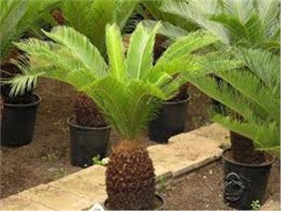 نبات السيكاس