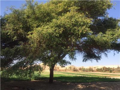 أشجار المصريين «من الجنة»