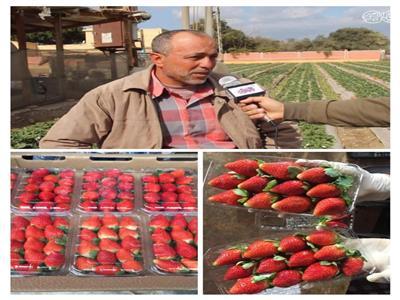 الفراولة في قرية الدير بالقليوبية