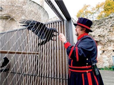 موت غراب «برج لندن» يهدد بسقوط بريطانيا