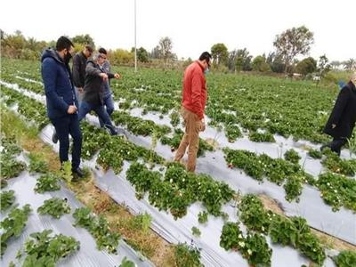 زراعة الفراولة بالتنقيط في دمياط