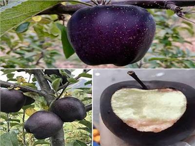 التفاح الأسود والأبيض