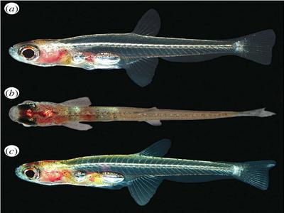السمكة القزم