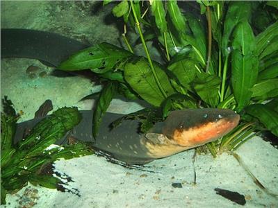 لحماية نفسها من الأعداء.. أسماك مولدة للكهرباء في قاع البحر