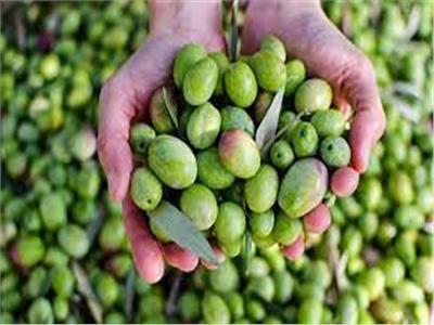 محصول الزيتون