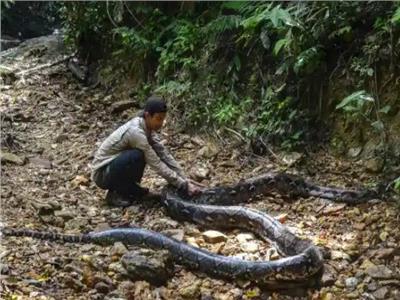 الإمساك باكبر ثعبان في إندونسيا..طوله 30 قدم