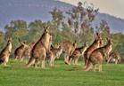أعداد حيوان الكانجرو ضعف أعداد مواطني أستراليا