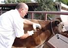 «الزراعة» تطلق المؤتمر العلمي الأول لمناقشة تحديات الثروة الحيوانية