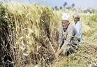 ننشر أصناف القمح ومناطق زراعتها بالمحافظات