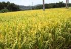 علماء يزرعون الأرز بالمياه المالحة