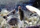 «السيسي» يعلن الحرب على الهجرة غير الشرعية بأسماك «غليون»