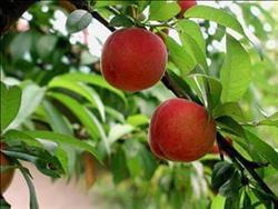 الزراعة تصدر توصياتها الفنية لمزارعي الفاكهة المتساقطة