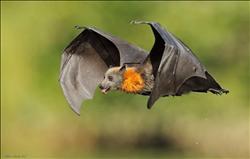 """الخفاش يحتضن فيروس """"سارس"""""""