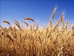 تقرير رسمي: 2.8 مليون فدان منزرعة بالقمح حتى الآن