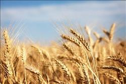 «الزراعة» : 3 مليون و11 ألف فدان مزروعة بالقمح حتى الآن