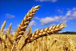 الزراعة تحظر 42 صنفا من الأرز والذرة والقمح لترشيد المياه