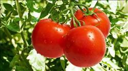 «الزراعة» تصدر توصياتها الفنية لمزارعي الطماطم خلال فبراير المقبل