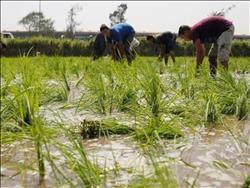 الزراعة تحدد تقاوي الأرز غير شرهة للمياه.. والري تخفض المساحات