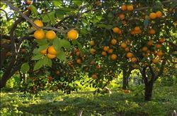 « الزراعة» تصدر توصياتها لمزارعي حدائق الموالح خلال فبراير المقبل