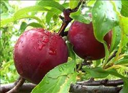 تعرف على توصيات إدارة البساتين لمزراعي حدائق الحلويات