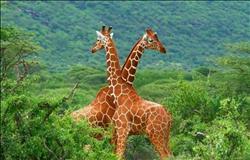 مدير حدائق الحيوان: شراء «الزراف» من جنوب أفريقيا يكلف100 ألف جنيه