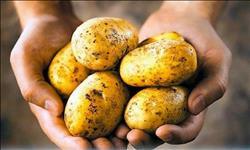 «تقاوي البطاطس»  تكبد المزارعين خسائر طائلة.. والزراعة لسنا المسئولين عن ارتفاع أسعارها