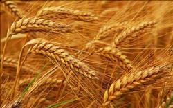 فاينينشال تايمز: لاكتفائها ذاتيا من الذرة..«مصر ليست أكبر مستورد للقمح»