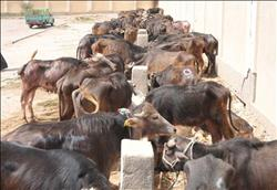مشروع «إحياء البتلو» يدعم صغار المربيين وينهض بالثروة الحيوانية