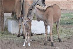 بشائر الخير..حديقة الحيوان  تستقبل ولادات جديدة مع بداية عام ٢٠١٨