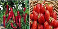 رسميا..«الاتحاد الأوروبي» يشيد بصادرات مصر من الفراولة والفلفل