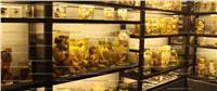 فيديو| أجنة «محنطة» بمتحف نجيب محفوظ