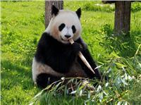 الباندا والفيل والكلب البري الأفريقي من الحيوانات المهددة بالانقراض