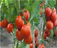 «نقابة الفلاحين»: رفع أسعار تقاوي الطماطم عبء  على المزارعين
