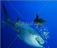 ظهور سمكة «قرش الحوت» بالبحر الأحمر