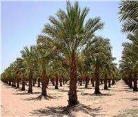 نصائح لمزارعي «حدائق النخيل» لحماية الثمار ومكافحة الآفات